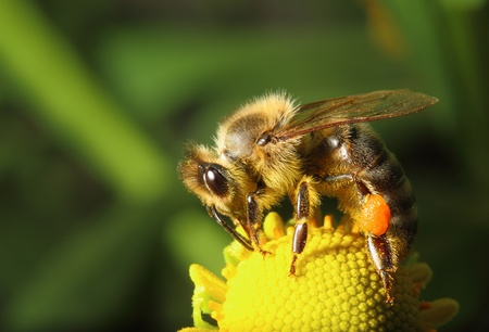 blossom honey: bee collecting pollen on yellow flower on green background Stock Photo