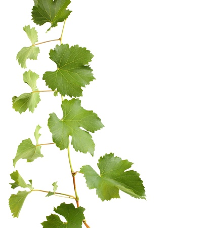 green grapevine leaves as border isolated photo