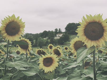 vintage photo: Vintage photo of sunflowers in France. Atmospheric Photo