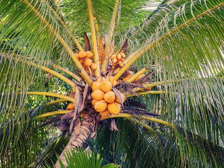 lia: Tropical Seychelles. Palm trees and coconut on La Digue Island at sunset.