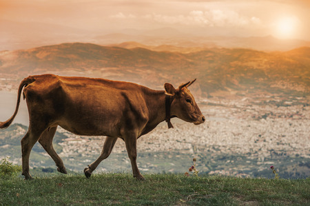 Cows graze on a meadow of the mountain at sunset of Greece. Cow on the mountain in the Greek city of Volos. Stock Photo