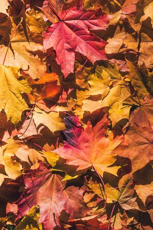 Maple leaves in the autumn forest at the morning at dawn.  Background. Top view. Indian summer. Vertical ratio Stock Photo