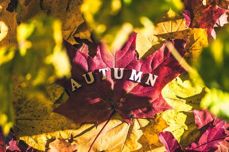 The word autumn made of wooden letters is laid out on a large maple leaf. forest, morning at dawn. Top view. Indian summer. Imagens