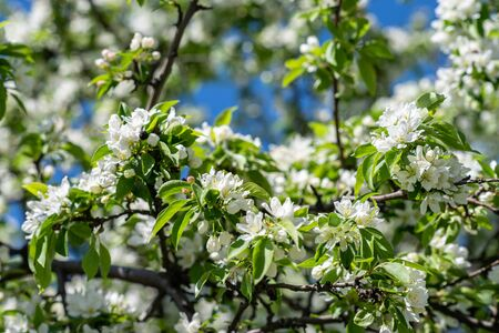 Blooming apple tree in sunny day spring time in a park. Background Фото со стока