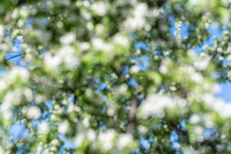 Blurred background with bokeh of blooming apple tree in sunny day spring time in a park. Unfocused
