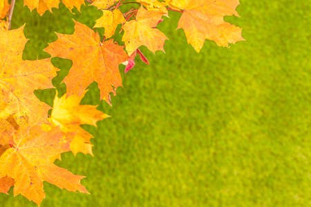 Top view of branch of golden maple leaf on the green grass. Creative and minimalism. Season change, autumn is coming. Nature concept. Stok Fotoğraf