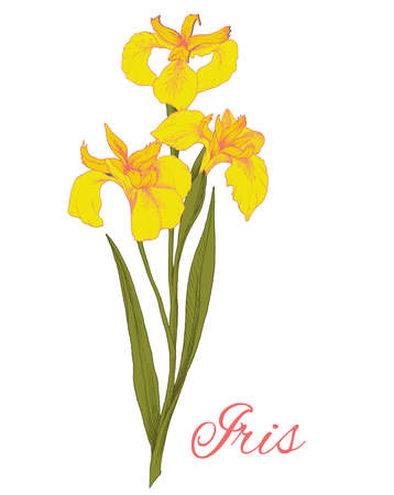 Colored illustration of yellow iris flower isolated on white background. The element for greeting cards, wedding invitations, gift prints.