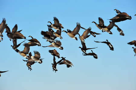 canadian geese: Flock of Canadian Geese in flight with blue sky as background.