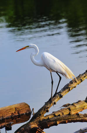 great bay: Great Egret Fishing on the Chesapeake Bay Maryland at sunset
