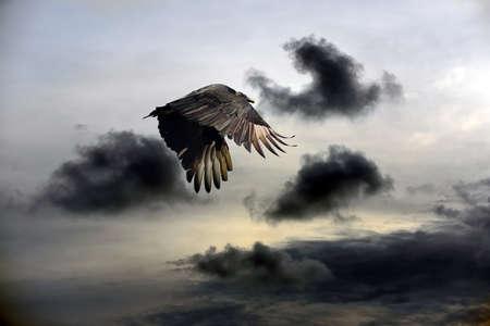 Turkey Vulture flying against a stormy sky 写真素材