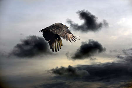 turkey vulture: Turkey Vulture flying against a stormy sky Stock Photo