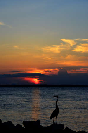 gazing: Great Blue Heron gazing out over the Chesapeake Bay at sunset