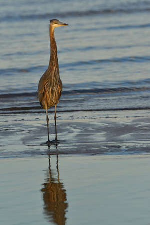 great blue heron: A Great Blue Heron standing on a Chesapeake Bay beach at sunset.