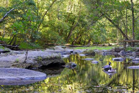 appalachian mountains: A Quiet mountain stream in the Maryland Appalachian mountains with 2 Canadian Geese Stock Photo