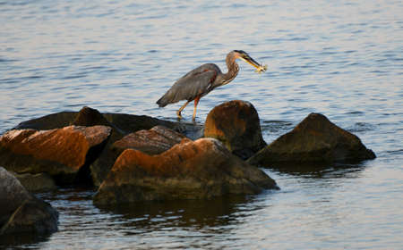 tenacious: A Great Blue Heron catches a fish on the Chesapeake Bay in Maryland Stock Photo