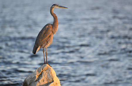 A Great Blue Heron gazes over the Chesapeake Bay in Maryland at sunset Stok Fotoğraf