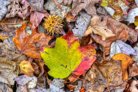 diverge: A colorful Autumn Maple leaf stands out the ground with other fall leaves.