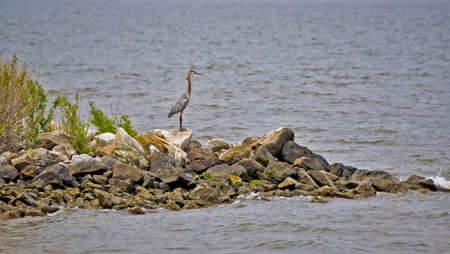 great bay: Great Blue Heron looking out over the Chesapeake bay in Maryland Stock Photo