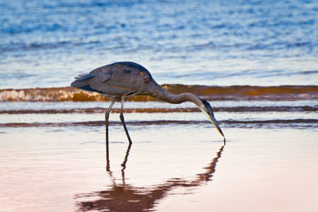 great blue heron: Great Blue Heron searching for food at twilight on a Chesapeake Bay beach in Maryland