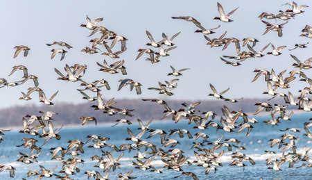 メリーランド州の大規模な群れの CanvasBacks アヒル飛ぶ上、チェサピーク湾