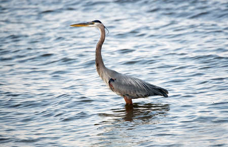 great bay: Great Blue Heron fishing in the Chesapeake Bay in Maryland