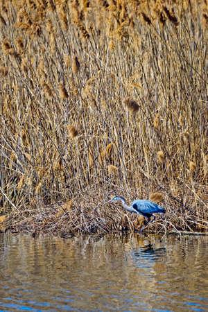 great blue heron: Great Blue Heron fishing in a Chesapeake Bay marsh in Maryland