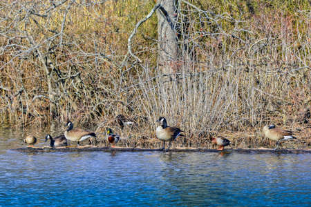canadian geese: Canadian Geese and Ducks sharing a log on a pond near the Chesapeake Bay in Maryland