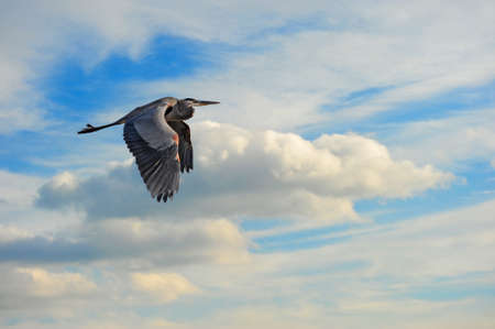 great bay: A Great Blue Heron flying in the clouds over the Chesapeake Bay in Maryland