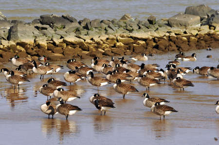 canadian geese: A flock of Canadian Geese on a beach on the Chesapeake Bay, Maryland in Winter