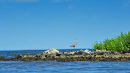 blue heron: A Great Blue heron watching over the Chesapeake Bay in Maryland on a summer day