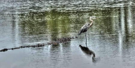 blue heron: Great Blue heron fishing in a pond near the Chesapeake Bay in Maryland