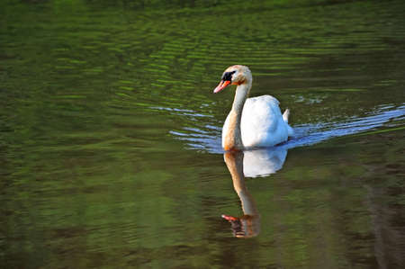 A mute swan swimming in a green pond near the Chesapeake Bay in Maryland photo