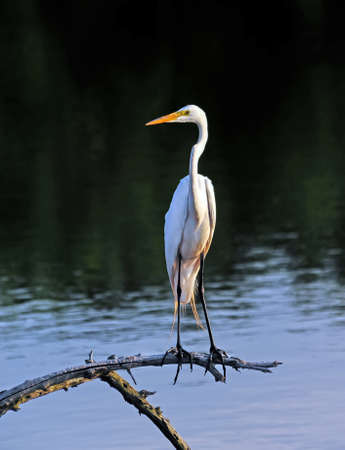 limb: Great Egret perched on a tree limb in a pond near the Chesapeake Bay Stock Photo