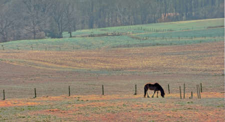 belgian horse: A Belgian Clydesdale horse quietly grazing in a field on a rural Maryland farm.