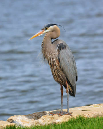 great bay: Great Blue Heron on the Chesapeake Bay Maryland