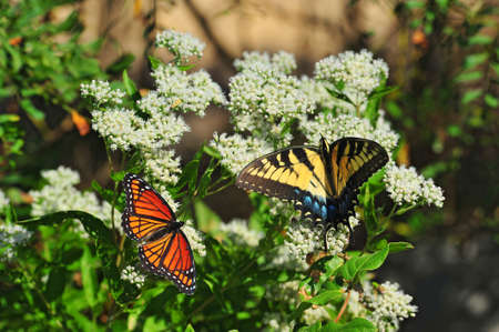 A Monarch and Swallowtail butterfly share a milkweed plant near the Chesapeake Bay in Maryland Stok Fotoğraf - 40834736