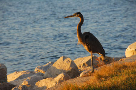 great bay: Great Blue Heron at sunset overlooking the Chesapeake Bay in Maryland