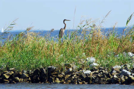 great bay: Great Blue Heron standing on a jetty in tall grass on the Chesapeake Bay