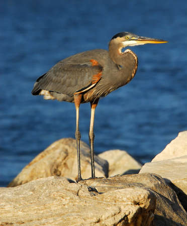 great bay: Great Blue Heron standing on a rock on the Chesapeake Bay, Maryland. Stock Photo