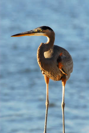 great blue heron: Closeup of a Great Blue Heron overlooking the Chesapeake Bay in Maryland