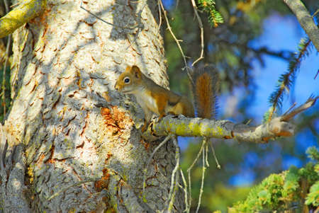Red Squirrel in tree in Soldotna Alaska with blurred background photo