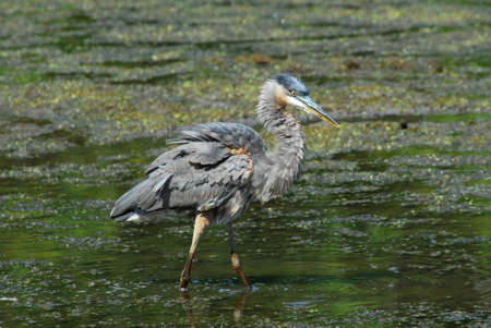 great blue heron: Great Blue Heron fishing in a pond.
