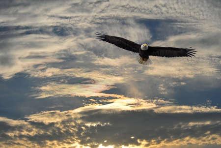 halcón: Alaska águila calva volando contra un cielo de Alaska Foto de archivo