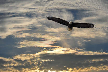 Alaskan Bald Eagle soaring against an Alaska sky Stockfoto