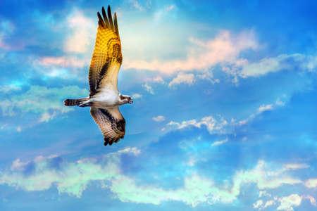 osprey bird: Osprey soaring high against a stunning sky