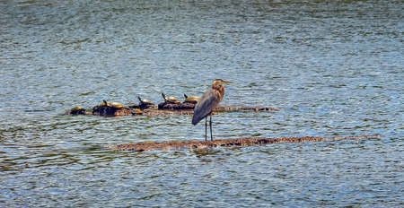 great blue heron: Great Blue heron standing on a small island with turtles near the Chesapeake Bay Stock Photo