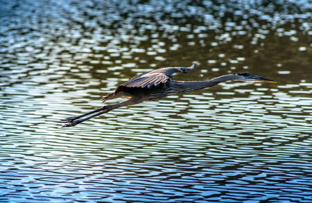 Great Blue Heron flying over water in a Chesapeake Bay pond