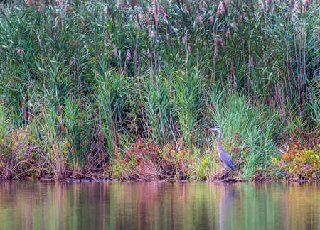Great Blue Heron standing in a Chesapeake Bay pond in Maryland during Autumn