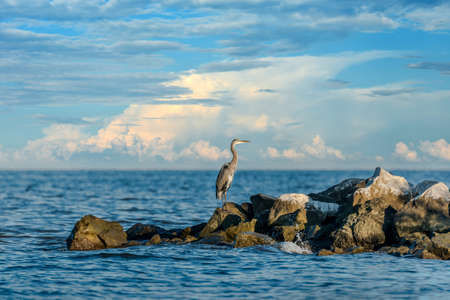 blue heron: Great Blue Heron standing on a jetty over looking the Chesapeake Bay in Maryland
