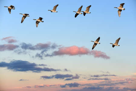 migrate: Flock of Canada Geese flying over a sunset sky Stock Photo